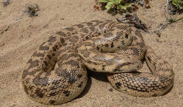 Восточный удавчик — змея, которая могла стать прототипом для Олгоя-хорхоя.