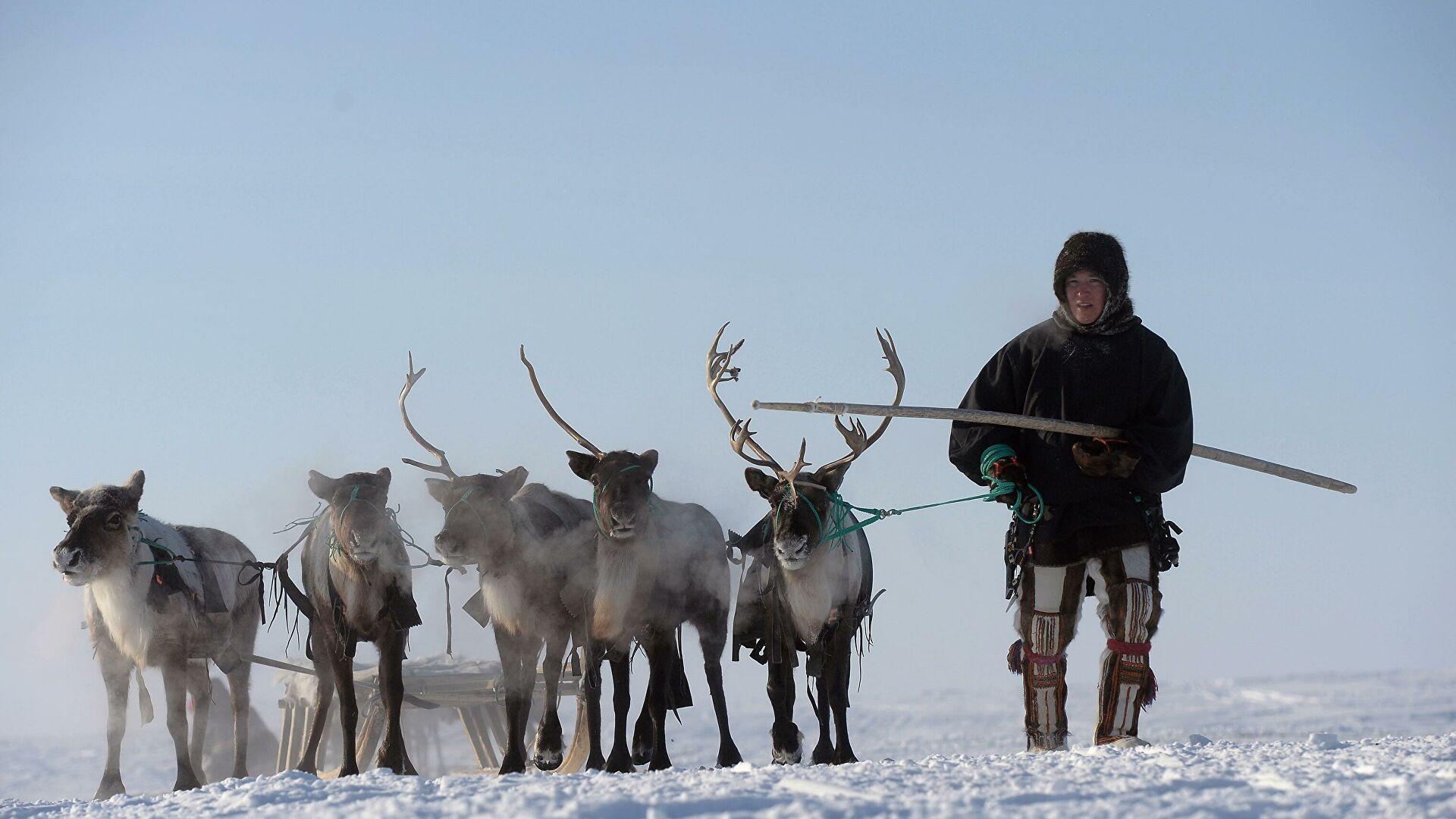 Северный оленевод.