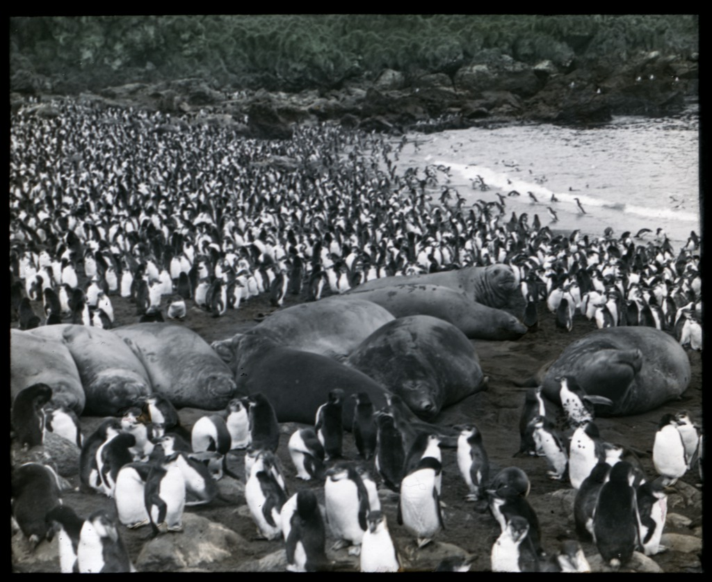 young-sea-elephants-asleep-amongst-royal-penguins-south-end-rookery-macquarie-island-australasian-antarctic-expedition-1911-1914_6173947934_o.jpg