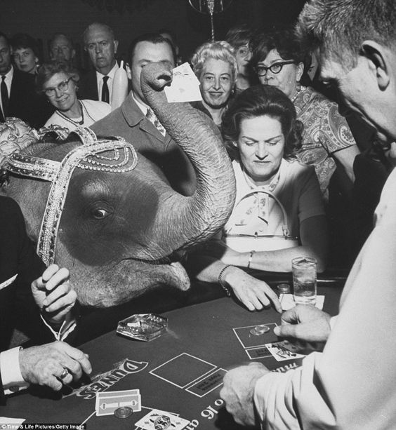 8 Tanya the Siamese elephant who performed on stage at Dunes Hotel and Casino joins gamblers at a blackjack table in 1966.jpg