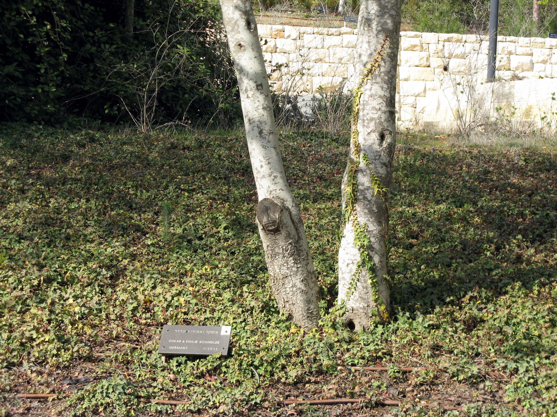 Дерево Оскара Шиндлера в Ядва-Шеме.